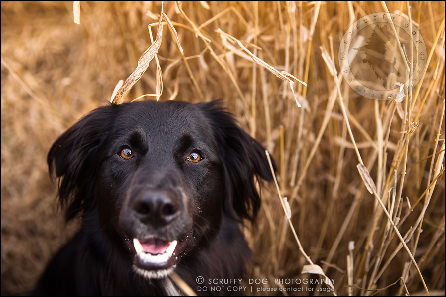 02-waterloo-ontario-professional-dog-photographer-hudson manning-20