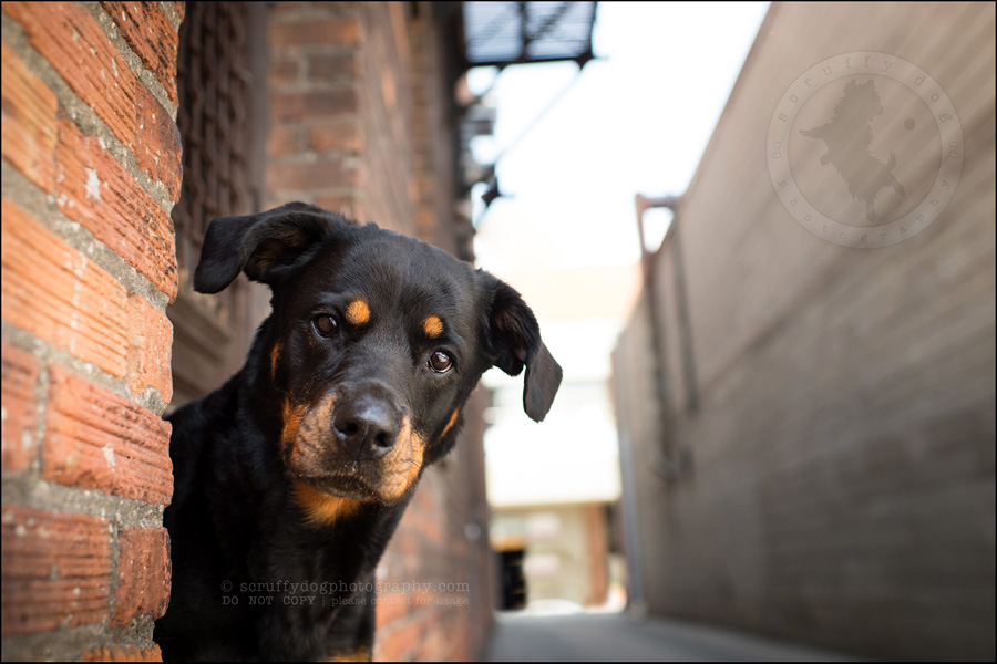 02toronto_ontario_dog_stock_photography_geordi jessie ladrillo-48