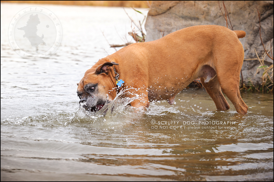 05-brampton-ontario-best-professional-dog-photographer-moose rocket-138