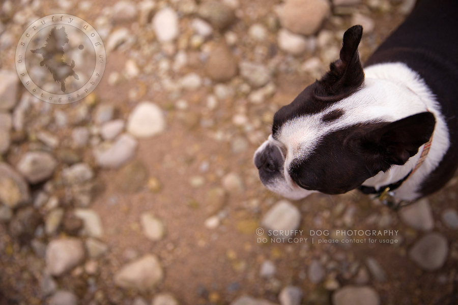05_kitchener_ontario_pet_photographer_best_dog_princess dot carroll-501