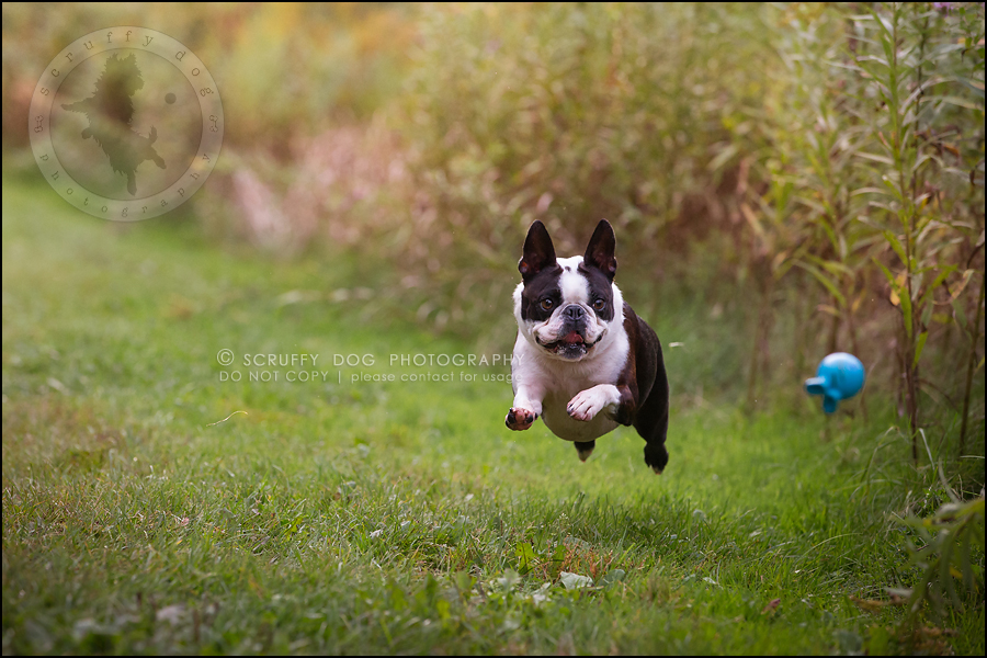 08_kitchener_ontario_pet_photographer_best_dog_princess dot carroll-363