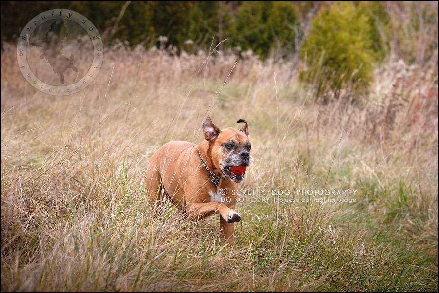 09-brampton-ontario-best-professional-dog-photographer-moose rocket-204