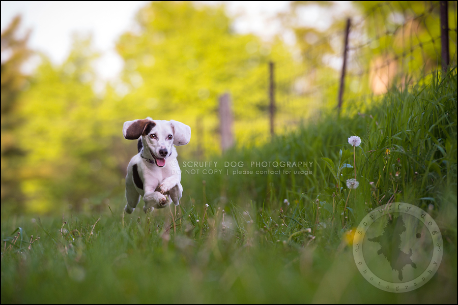 09-toronto-ontario-professional--dog-photographer-lucy frederick-253