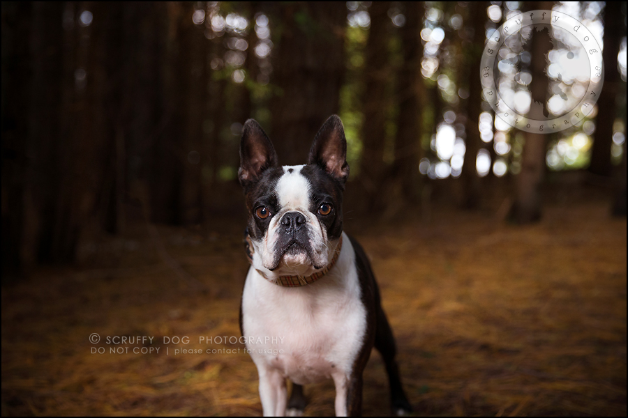 09_kitchener_ontario_pet_photographer_best_dog_princess dot carroll-303