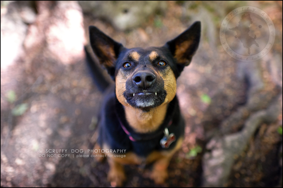 10_hamilton_ontario_pet_photographer_best_dog_remi kona pepper shaw-326
