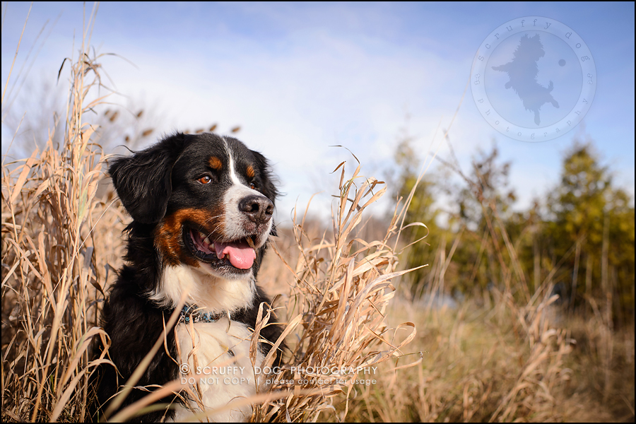 12-toronto-ontario-professional-dog-photographer-henry martha-393