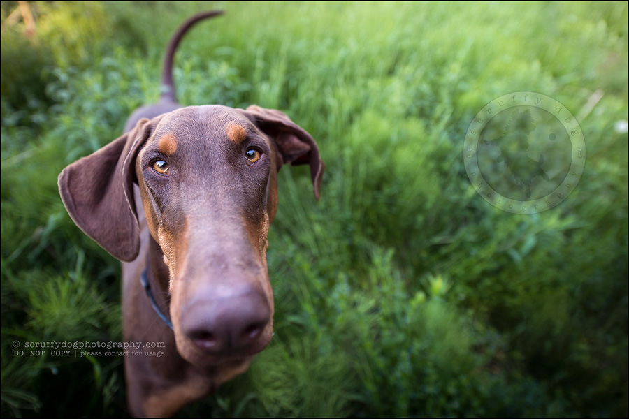 14_guelph_ontario_pet_photographer_best_dog_reese hunsberger-86