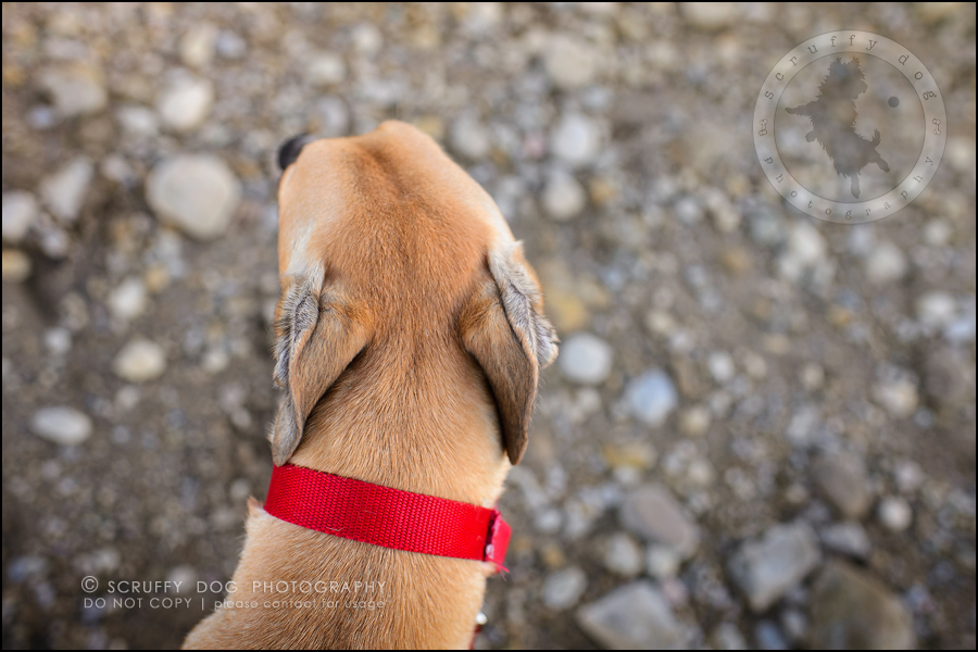 17-toronto-ontario-professional--dog-photographer-lucy poppy real-628