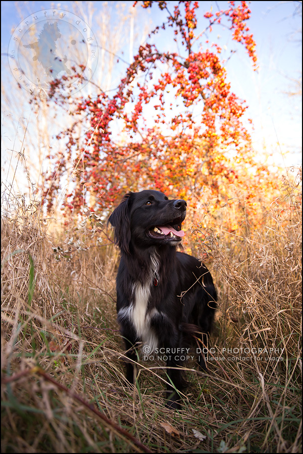 18-waterloo-ontario-professional-dog-photographer-hudson manning-532
