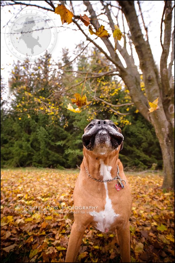 19-brampton-ontario-best-professional-dog-photographer-moose rocket-423-Edit