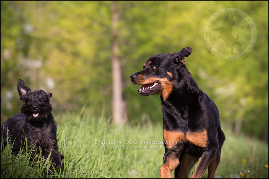 20toronto_ontario_dog_stock_photography_geordi jessie ladrillo-389