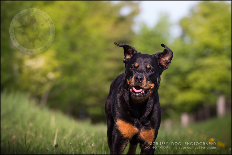 22toronto_ontario_dog_stock_photography_geordi jessie ladrillo-525