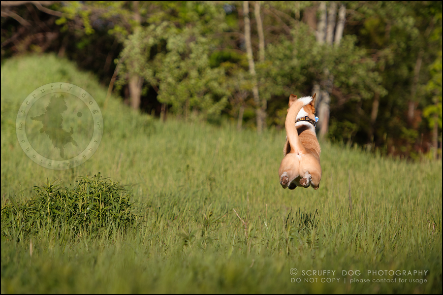 26_hamilton_ontario_pet_photographer_best_dog_remi kona pepper shaw-771