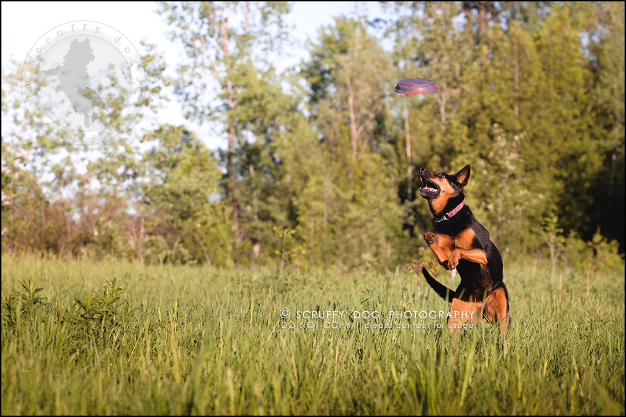 29_hamilton_ontario_pet_photographer_best_dog_remi kona pepper shaw-932